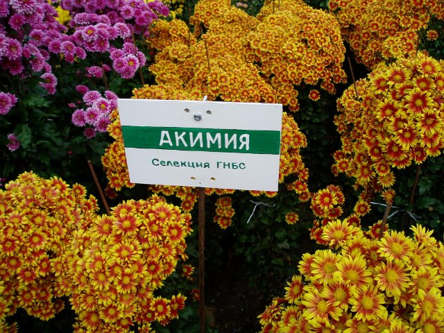 Парад хризантем в Никитском ботаническом саду. Крым  58791a71da07