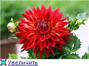 Георгины в цвету 8227f09bade7t