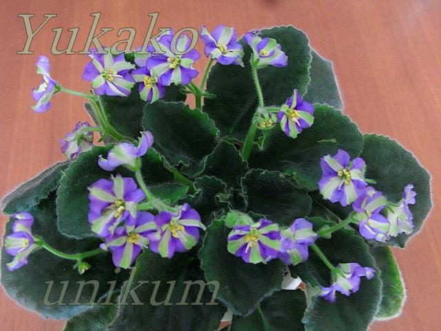 Violeta africana: pequeña desconocida - Página 2 099b9e1e4634