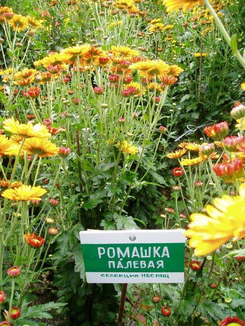 Парад хризантем в Никитском ботаническом саду. Крым  42e52d288b59