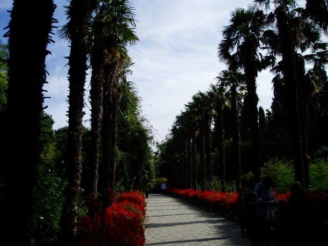 Парад хризантем в Никитском ботаническом саду. Крым  0a4a4f9b516c