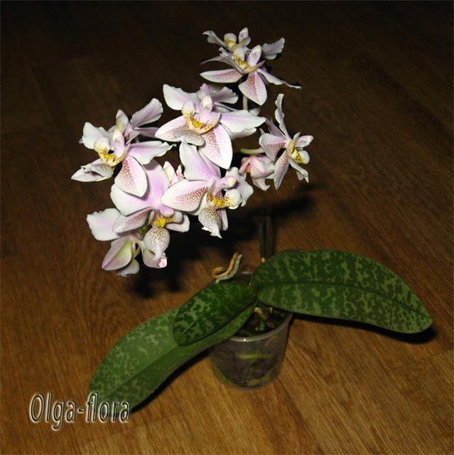 Орхидеи - Страница 13 32b39545afb6