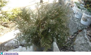 Хвойные растения Ca3015273f01t