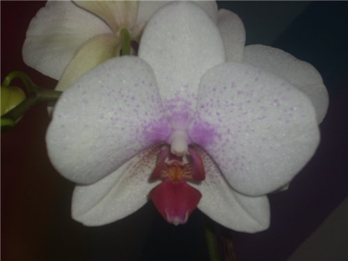 Продам 2 орхидеи (фаленопсис) в Астане 04870f661316