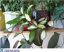 Хойи. Выращивание и уход. 9a5a6e13636ft