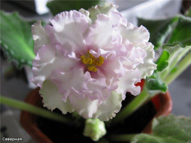 Pink Chablis (P. Sorano) E1b0159cf294