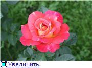 Розы 2011 Ca0566a84207t