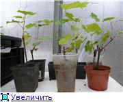 гортензии и виноград Ea6ac9a061b8t