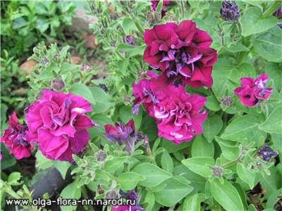 Однолетние растения B91eca438438