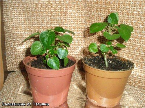 Бальзамин-уход, выращивание, размножение 2a51b2ca0fba