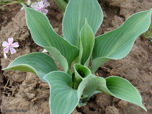 Многолетние растения - Страница 3 0929d541a18b