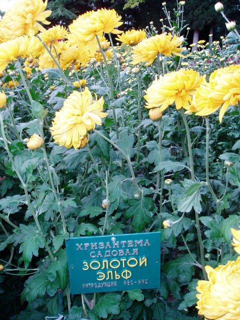 Парад хризантем в Никитском ботаническом саду. Крым  Ab29b9ef5144