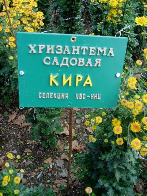 Парад хризантем в Никитском ботаническом саду. Крым  8b4dd79ad2be