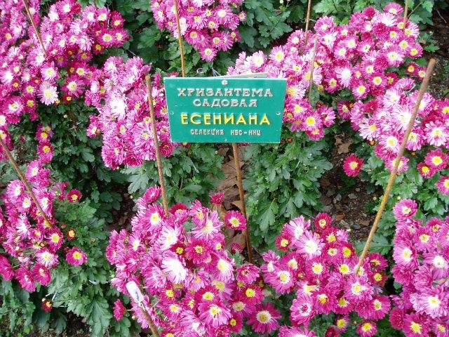 Парад хризантем в Никитском ботаническом саду. Крым  264cbc24e584