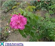 Розы от Naka-Noka B2279cfb9ffct
