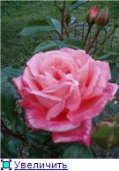 Розы 2011 E9b594e03a5et