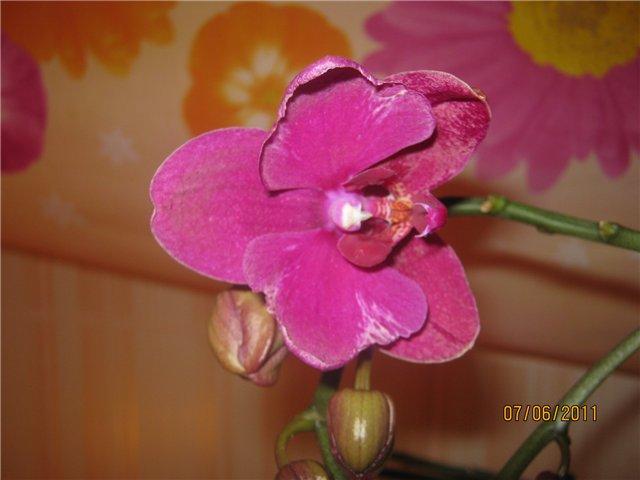 Разведение орхидей. - Страница 13 75a0043e27b7