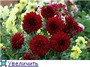 Георгины в цвету 5da34e1d8c5et