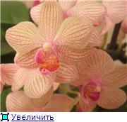 Фаленопсисы гибридные - Страница 2 0069de1fcacet