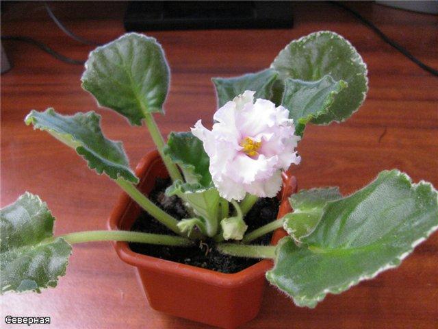 Pink Chablis (P. Sorano) 3a169b120f2f