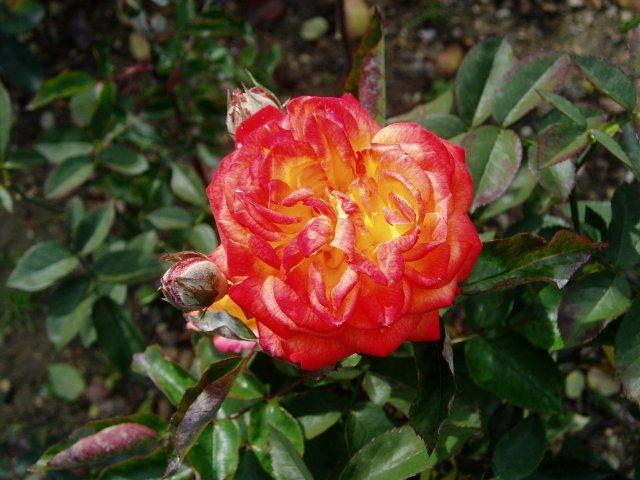 Парад хризантем в Никитском ботаническом саду. Крым  86c64bebfe97
