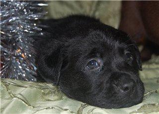 Шоколадные и черные щенки лабрадоров в  питомнике Луссо Анжело E6b497aa112a