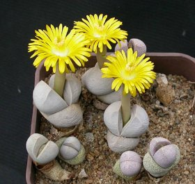 продам семена экзотических растений 3ffd7a019a3e