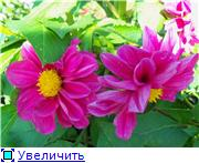 Георгины в цвету - Страница 2 716fa841f104t