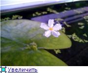 Цветение аквариумных растений 88dee4ec5675t