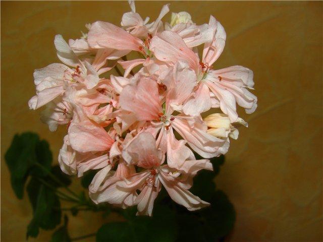 Продам пеларгонии и другие цветы 3cf9e323e591