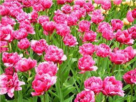 Рай тюльпанов или Кёкнхов - 2012 B2eb23b1925dt