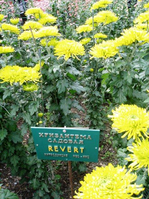 Парад хризантем в Никитском ботаническом саду. Крым  Bf837b91403a