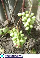 Виноград- секреты выращивания C03c603aaefbt
