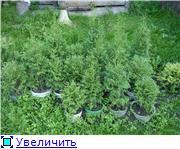 Хвойные растения и вересковые в садовом дизайне. 0a1819d936f8t