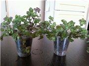 Садовые многолетние цветы - давайте меняться - Страница 3 787141bd2aa6t