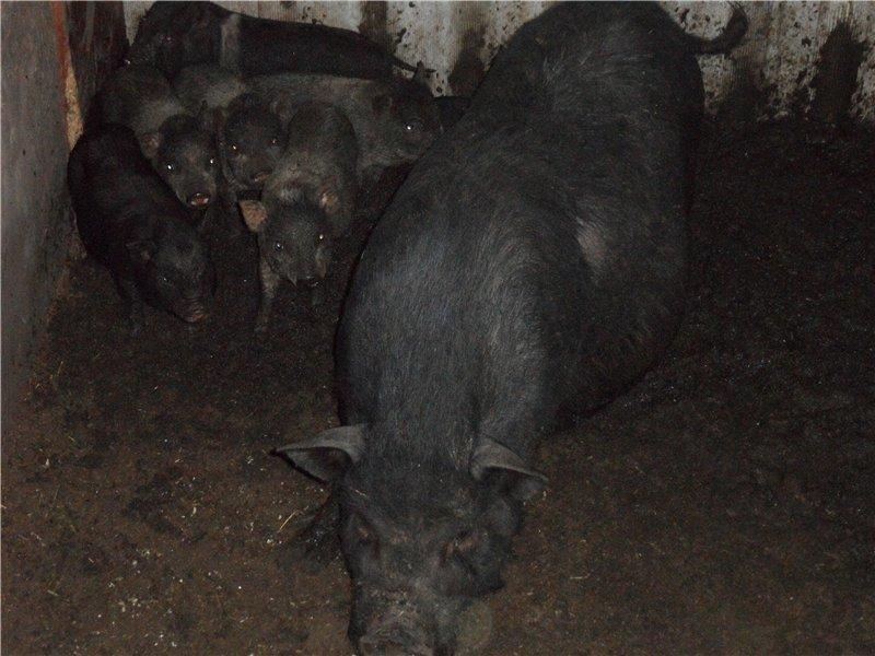 В'єтнамські вислобрюхие свині 110f3762bb78