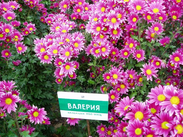 Парад хризантем в Никитском ботаническом саду. Крым  6ec3a761298c
