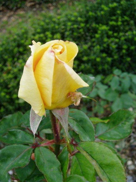 Парад хризантем в Никитском ботаническом саду. Крым  C97254f3affd