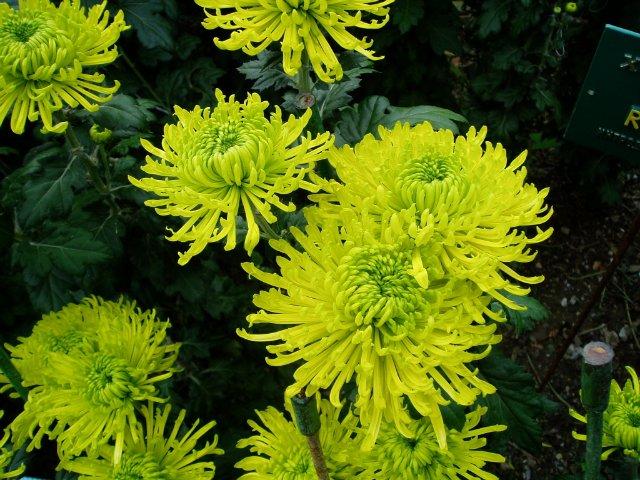 Парад хризантем в Никитском ботаническом саду. Крым  3dee8b5c2fc0