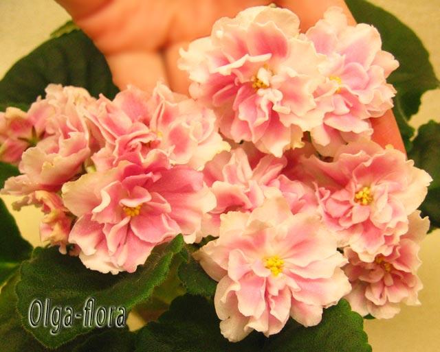 Розовый Жемчуг   (К. Л. Морев) 6c590de38060