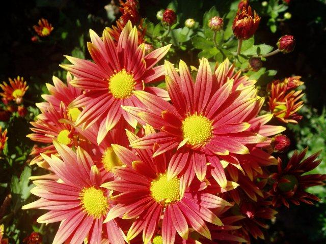 Парад хризантем в Никитском ботаническом саду. Крым  - Страница 2 C6af3657e64e