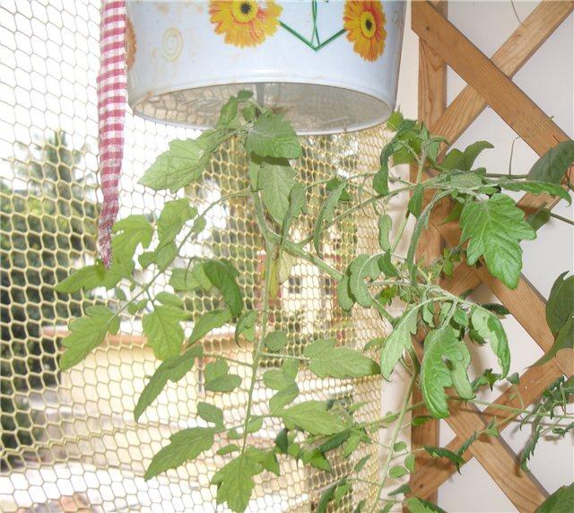 Технология выращивания помидоров (томатов) вниз головой 159df619640d
