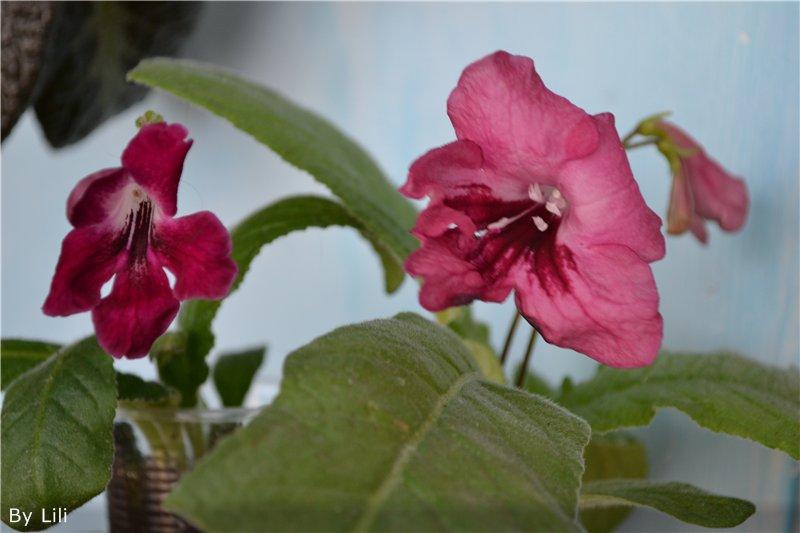 Стрептокарпусы из семян - Страница 5 19f0eb2c5729