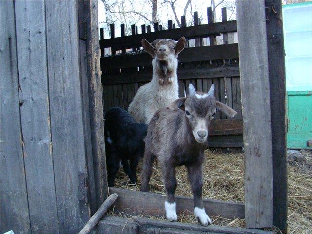 Козы, козлята и козлы)))))) - Страница 6 6876e9544704
