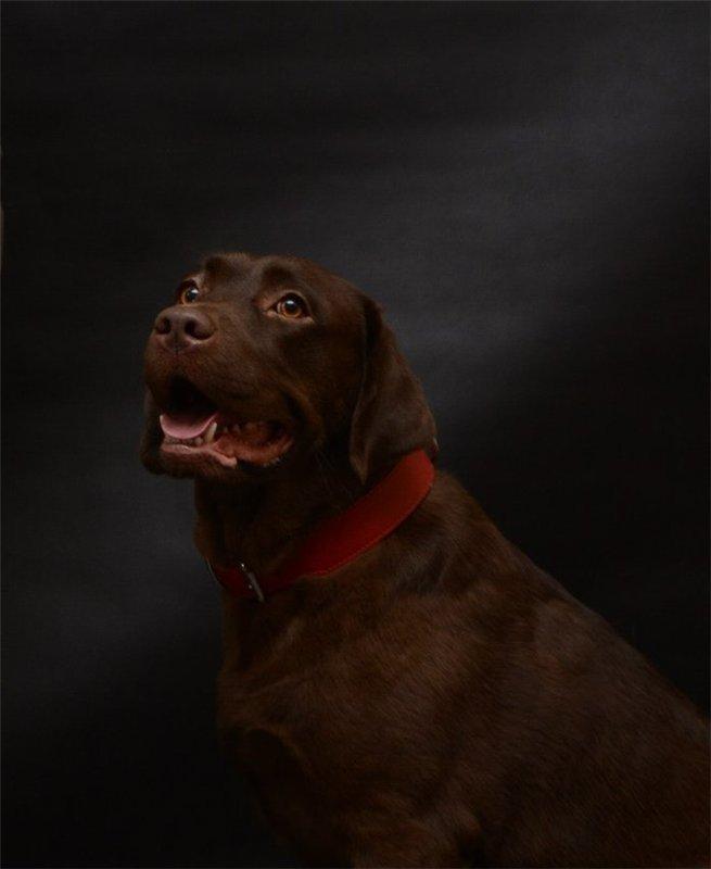 Щоколадные щенки лабрадора-ретривера 25.12.13 (питомник АРТ ГРАНД). 86326326f868
