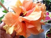 Садовые многолетние цветы - давайте меняться - Страница 3 248a1b7b7725t
