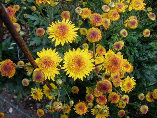Парад хризантем в Никитском ботаническом саду. Крым  Cee4ab71c8da