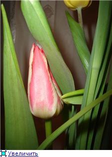 Выгонка луковичных. Тюльпаны, крокусы и др. E3b4f4125ee2t