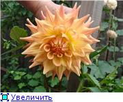 Георгины в цвету 5d4cb0fbf579t