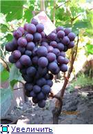 Виноград- секреты выращивания 8e3dd8ce822bt